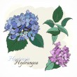 Hydrangeas - closeup, blue and lilac — Stock Vector