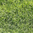 Perfect green grass texture — Stock Photo #12806228
