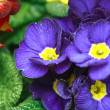 Stock Photo: Beautiful purple violet flowers