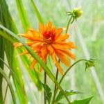 Chrysanthemum flower plant — Stock Photo