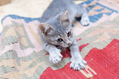 Grey kitten playing and grabbing at in front wall — Stock fotografie