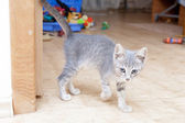 Grey kitten playing and grabbing at in front room — Zdjęcie stockowe