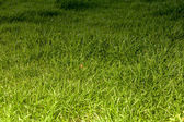 Fresh grass in the morning — Stock Photo