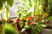 Potted green plants on window sill indoors — Stock Photo