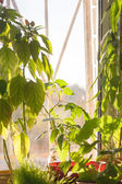 Potted green plants on window sill indoors — Foto Stock