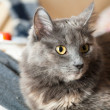 Gray cat indoors — Stock Photo