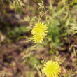 Two yellow flowers in grass — Stock Photo