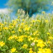 Yellow flowers in grass — Stock Photo