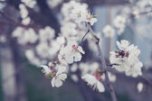 Branches of a cherry covered with pretty white flowers — Stok fotoğraf
