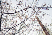 Cherry blossom outdoors — Photo