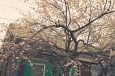 Cherry blossom outdoors — Stock Photo