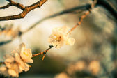 Cherry blossom outdoors — Stockfoto