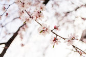 Cherry blossom outdoors — Foto Stock