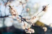 вишни на открытом воздухе — Стоковое фото