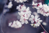 Cherry blossom outdoors — Stok fotoğraf