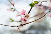 Cherry blossom outdoors — Stock Photo