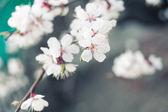 Bílé třešňové květy — Stock fotografie