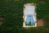Ivy on wall with window — Foto de Stock