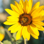 Sunflower in rural background — Photo