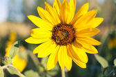Sunflower in rural background — Stock fotografie