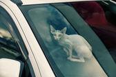 Sfinx cat inside a car looking at camera — Stock fotografie