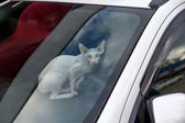 Sphinx cat inside a car looking at camera — Stock Photo
