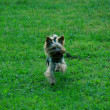 Toy terrier running on green grass — Стоковое фото
