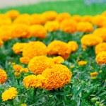 Flowerbed with orange flowers — Stock Photo #48098615