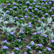 Blue flowers background — Stock Photo #48098999