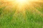 čerstvé zelené trávy a slunce světlo přirozeného pozadí — Stock fotografie
