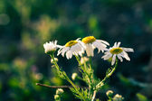 Wild daisy backlit closeup image — Stock Photo