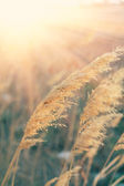 Grass backlit — Stock Photo