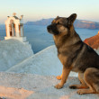 Santorini street dog - Stock Photo