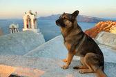 Santorini street dog — Stock Photo