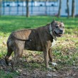 Dog breed staffordshire Terrier — Stock Photo #26700377