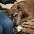 Staffordshire Terrier — Stock Photo