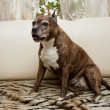 Staffordshire Terrier — Stock Photo #30375343