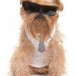 Dog with sunglasses — Stock Photo #33395143