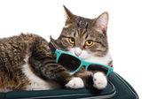 Viaggiatore di gatto — Foto Stock