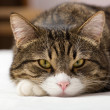 Sad,  striped cat — Stock Photo