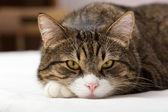 悲伤,条纹的猫 — 图库照片