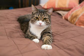 Grey cat is lying on the bed — Stock Photo