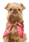 Brussels Griffon in a bandana — Stock Photo