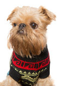 Brussels Griffon in a sweater — Stock Photo
