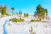 Winter pines on the hill — Stock Photo