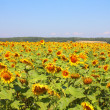 Stock Photo: Summer sunflowers field