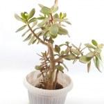 Money tree (crassula plant) in pot over white — Stock Photo #38639843