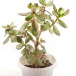 Money tree (crassula plant) in pot over white — Stock Photo #38639865