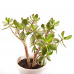 Money tree (crassula plant) in pot over white — Stock Photo #38639877