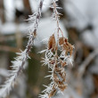 Stock Photo: Twig of tree hoar-frost covered